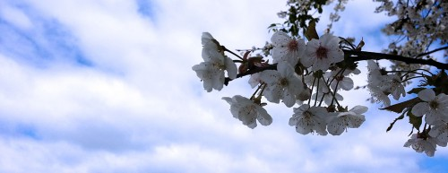 White Flowering Tree and Clouds