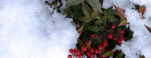 Red Berries on Snowy Bush