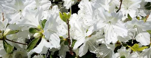White Flowering Bush